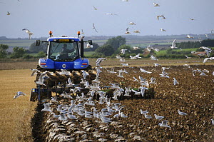 Tractor ploughing in cereal stubble, with Black Headed Gulls {Larus ridibundus} following the plough, Norfolk, UK, September - Gary K. Smith