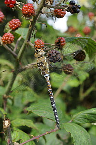 Migrant Hawker dragonfly {Aeshna mixta} mature male resting on blackberries in autumn hedgerow, Norfolk, UK, September - Gary K. Smith