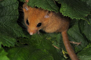 Dormouse (Muscardinus avellanarius) amongst  Hazel leaves, Clwyd, Wales, UK, August - Graham Eaton