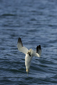 Gannet (Morus bassanus) diving into the sea, Cardigan Bay, Wales, May - Graham Eaton