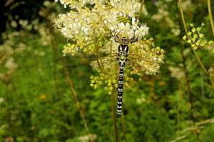 Hairy Dragonfly (Brachytron pratense) Wales, UK, August  -  Graham Eaton