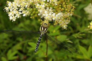 Hairy Dragonfly (Brachytron pratense) Clwyd, Wales, UK, August  -  Graham Eaton