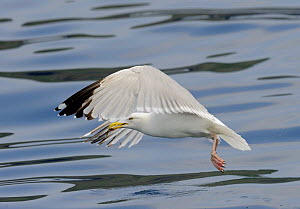 Herring Gull (Larus argentatus) taking off from the sea with a fish, Cardigan Bay, Wales, UK, May - Graham Eaton