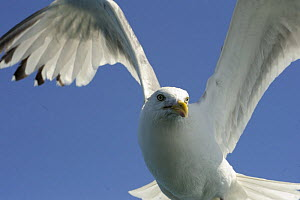 Herring Gull (Larus argentatus) looking down in flight, Cardigan Bay, Wales, UK, July - Graham Eaton
