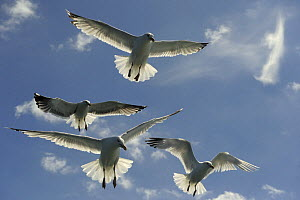 Herring Gull (Larus argentatus) looking up at flock following a boat, Cardigan Bay, Wales, UK, July - Graham Eaton