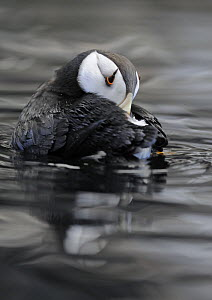 Horned Puffin (Fratercula corniculata) resting on water with head under wing, Alaska, USA, June. Captive bird. - Graham Eaton