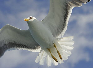 Lesser Black-backed Gull (Larus fuscus) flying, Wales, UK - Graham Eaton