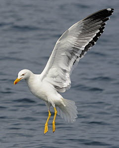 Lesser Black-backed Gull (Larus fuscus) flying, about to land on the sea, Cardigan Bay, Wales, UK, May  -  Graham Eaton