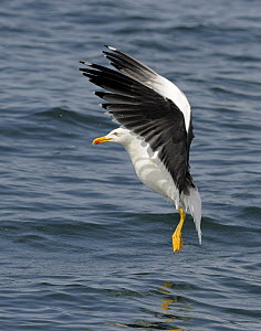 Lesser Black-backed Gull (Larus fuscus) about to land on the sea, Cardigan Bay, Wales, UK, May - Graham Eaton