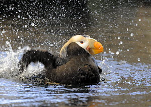 Tufted Puffin (Fratercula / Lunda cirrhata) cleaning  wings in water, Alaska, USA, June. Captive bird. - Graham Eaton