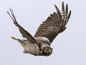 Wet and bedraggled female Hawk Owl {Surnia ulula} in flight, Lapland, Finland - Roger Powell