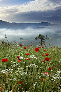A poppy field in the Valnerina near Preci with the mountains of Monti Sibillini National Park in the background, Umbria, Italy  -  David Noton