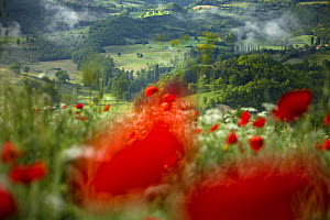 Dawn in a poppy field in the Valnerina near Preci, Umbria, Italy  -  David Noton