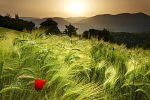 Dawn in a barley field overlooking the Valnerina near Meggiano, Umbria, Italy - David Noton
