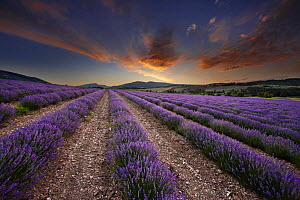 Dawn in a lavender field nr Sault, the Vaucluse, Provence, France - David Noton
