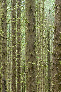 Sitka Spruce trees {Picea sitchensis} in temperate coastal rainforest, Cape Perpetua, Siuslaw NF, Oregon, USA - Rob Tilley