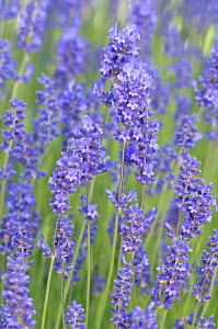 Lavender flowers {Lavandula sp} Washington, USA - Rob Tilley