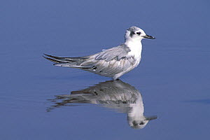 White winged tern {Chlidonias leucoptera} immature with reflection in water, Sohar, Oman  -  Hanne & Jens Eriksen