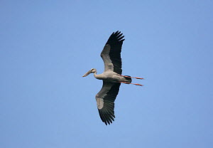 Asian open-bill stork {Anastomus oscitans} in flight, Tamil Nadu, India  -  Hanne & Jens Eriksen