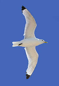 Black legged Kittiwake {Rissa tridactyla} in flight, Bulbjerg, Denmark  -  Hanne & Jens Eriksen