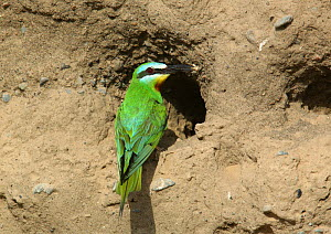 Blue cheeked bee eater {Merops persicus} with food at nest hole, Sohar, Oman  -  Hanne & Jens Eriksen
