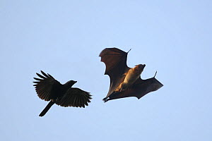 Indian flying fox {Pteropus gigantea} in flight, chased by House Crow {Corvus splendens}, Tamil Nadu, India  -  Hanne & Jens Eriksen
