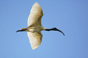 Oriental ibis {Threskiornis melanocephalus} in flight, Tamil Nadu, India - Hanne & Jens Eriksen