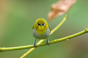 Oriental white eye {Zosterops palpebrosa} head on, Tamil Nadu, India  -  Hanne & Jens Eriksen