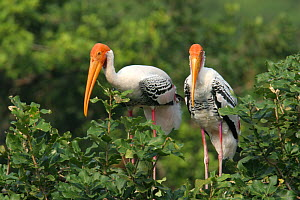 Painted stork {Mycteria leucocephala} pair perched in tree, Tamil Nadu, India  -  Hanne & Jens Eriksen