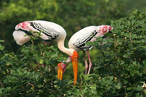 Painted stork {Mycteria leucocephala} pair at nest in tree, Tamil Nadu, India  -  Hanne & Jens Eriksen