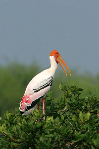 Painted stork {Mycteria leucocephala} perched in tree, Tamil Nadu, India  -  Hanne & Jens Eriksen
