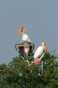 Painted stork {Mycteria leucocephala} pair perched in tree, one sunning, Tamil Nadu, India  -  Hanne & Jens Eriksen