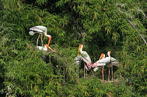 Painted stork {Mycteria leucocephala} breeding colony, Tamil Nadu, India  -  Hanne & Jens Eriksen