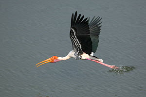 Painted stork {Mycteria leucocephala} in flight, touching water, Tamil Nadu, India  -  Hanne & Jens Eriksen