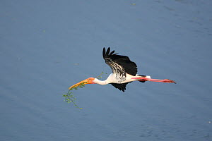 Painted stork {Mycteria leucocephala} in flight, carrying nest material in beak, Tamil Nadu, India  -  Hanne & Jens Eriksen