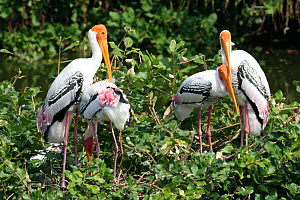 Painted stork {Mycteria leucocephala} breeding colony, two pairs in tree, Tamil Nadu, India  -  Hanne & Jens Eriksen