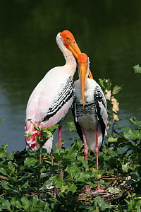 Painted stork {Mycteria leucocephala} pair on nest, Tamil Nadu, India  -  Hanne & Jens Eriksen