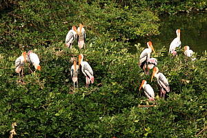 Painted stork {Mycteria leucocephala} breeding colony, six pairs, Tamil Nadu, India  -  Hanne & Jens Eriksen
