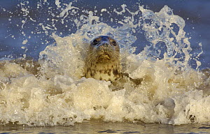 Grey seal {Halichoerus grypus} adult female among breaking waves. Lincolnshire, UK  -  Andrew Parkinson