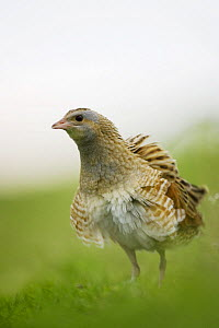 Corncrake (Crex crex) with feathers fluffed up, Rogaland, Norway. May  -  Roy Mangersnes