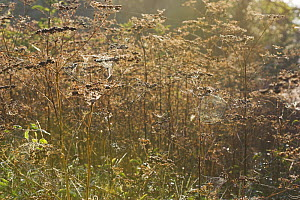 Spider cobwebs on umbellifer seedheads in autumn, Levin Down NR, Sussex, UK - Simon Colmer