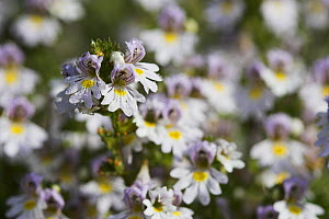 Eyebright (Euphrasia officinalis) flowers, Levin Down Nature Reserve, Sussex, UK  -  Simon Colmer
