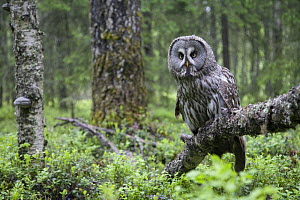 Great Grey owl (Strix nebulosa) perched in forest, Oulu, Finland. June 2008~WWE Mission: Scandinavian owls  -  Wild Wonders of Europe / Cairns