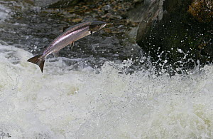 Atlantic salmon {Salmo salar} leaping up Cassley Falls, Scoltand, UK. Composite  -  Ian McCarthy