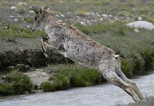 Himalayan blue sheep / Bharal {Pseudois nayaur} leaping across the River Bhagirathi, source of the Ganges, in the Himalayas, Uttararkhand, India - Ian McCarthy