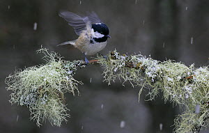 Coal tit {Periparus ater} flapping wings on lichen covered branch in snow, Abernethy, Scotland, UK  -  Ian McCarthy