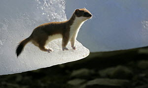 Stoat / Ermine {Mustela erminea} in summer coat, on ice, Ellesmere Island, Arctic, Canada  -  Ian McCarthy
