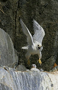 Gyrfalcon {Falco rusticolus} taking off from nest on cliffs, Ellesmere Island, Arctic, Canada  -  Ian McCarthy
