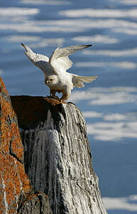 Gyrfalcon {Falco rusticolus} perched on rock, stretching wings, Ellesmere Island, Arctic, Canada  -  Ian McCarthy