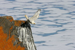 Gyrfalcon {Falco rusticolus} taking off from rock, Ellesmere Island, Arctic, Canada  -  Ian McCarthy